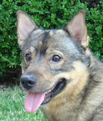 Swedish Vallhund dog face