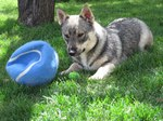 Swedish Vallhund with a ball