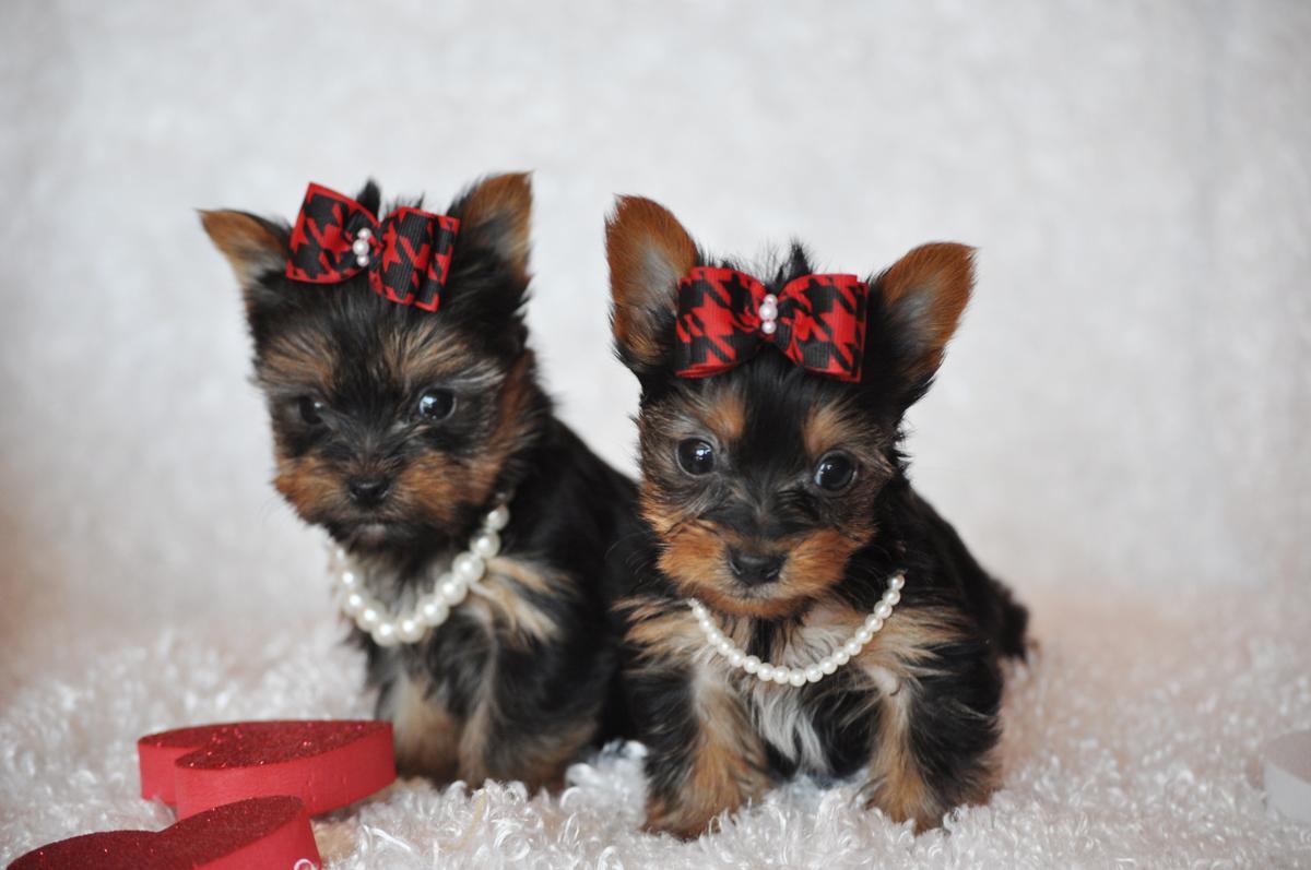 Sweet Yorkshire Terrier dogs  wallpaper