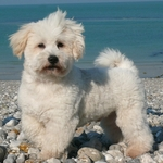 Swimming Coton de Tulear dog