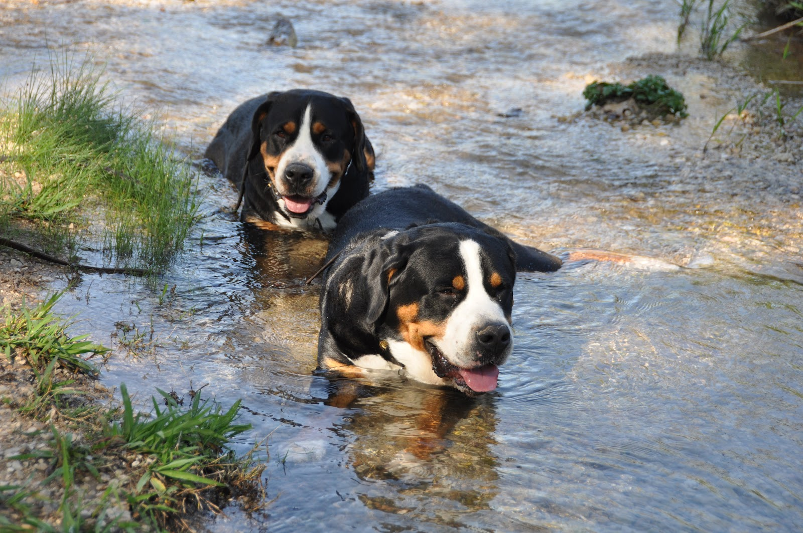 Swimming Greater Swiss Mountain Dogs wallpaper