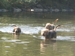 Swimming Otterhound dogs