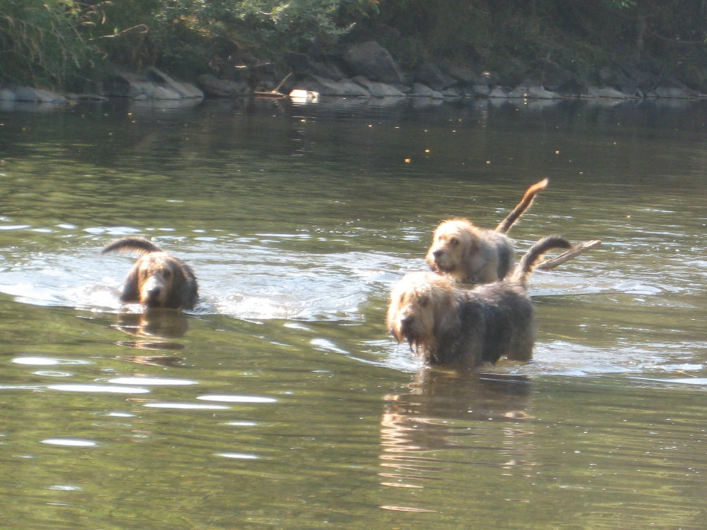 Swimming Otterhound dogs wallpaper