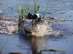 Swimming Pointer dog