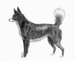 Tahltan Bear Dog side view