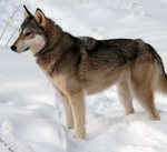 Tamaskan dog in the snow
