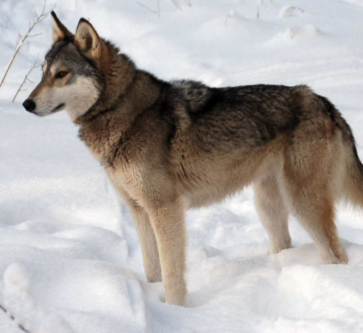 The Breeding-back Blog: The Tamaskan Dog as a test for ...