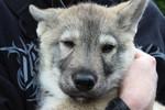 Tamaskan puppy face