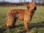 Tawny Briard dog