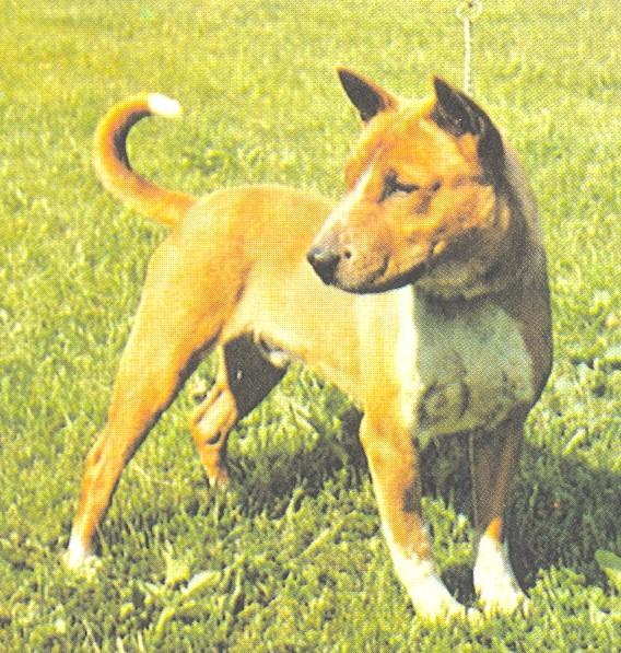 Собака теломиан фото