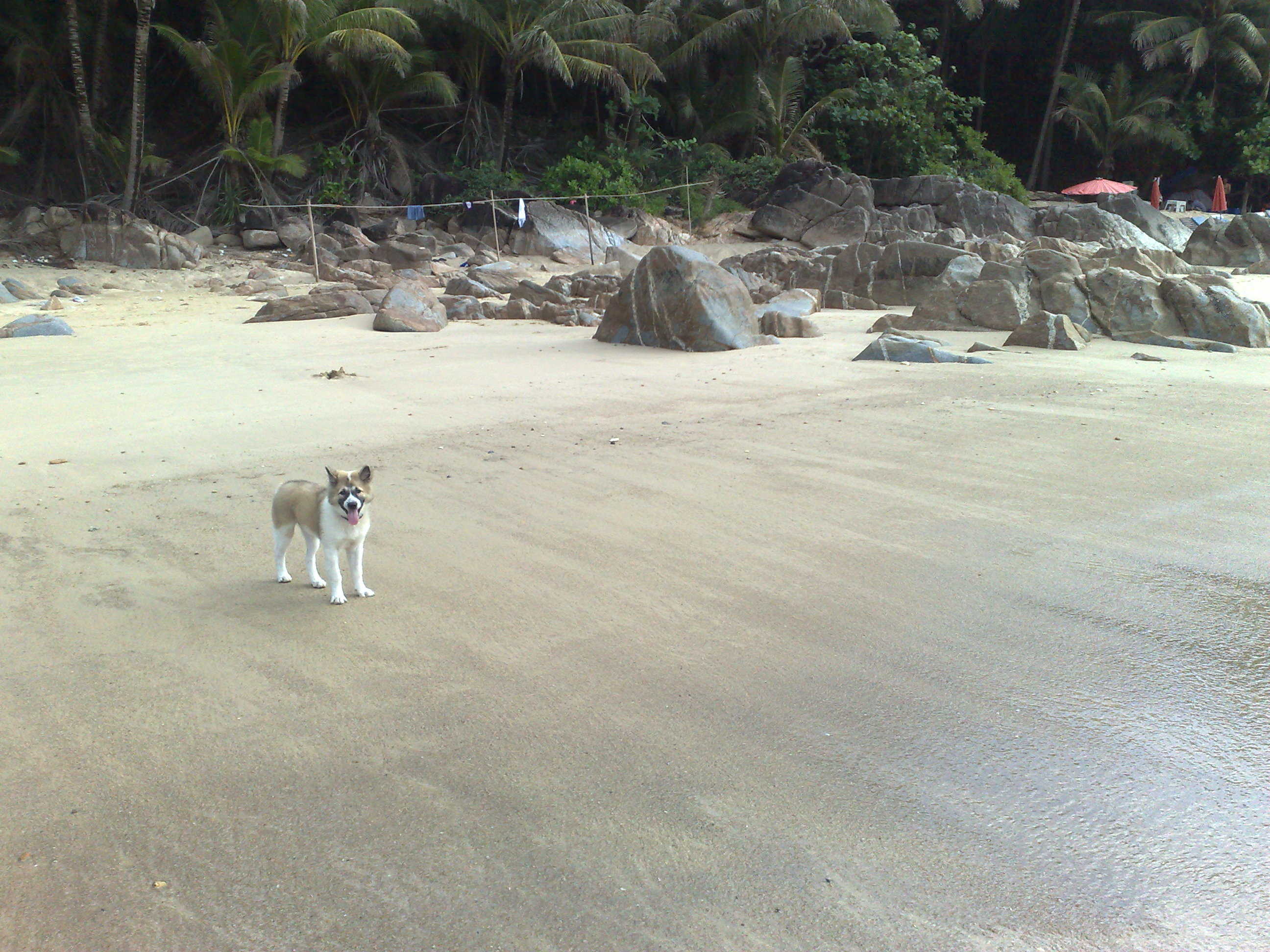 Thai Bangkaew Dog on the beach wallpaper