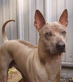 Thai Ridgeback dog face