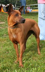 Thai Ridgeback on the show