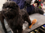 The most stylish Affenpinscher