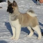The nicest American Akita dog