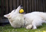 The nicest Berger Blanc Suisse dog