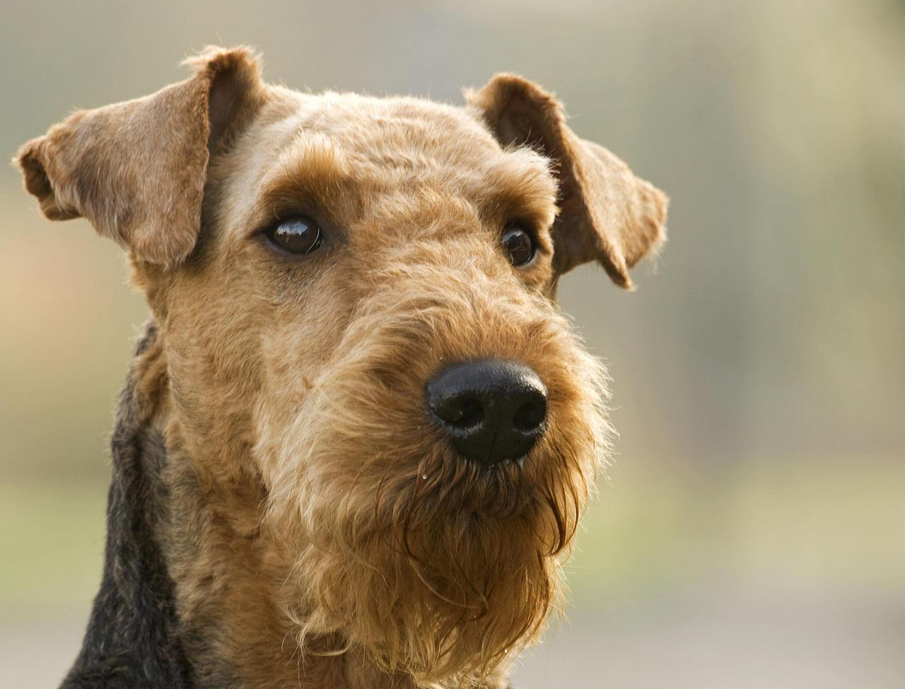 Thoughtful Airedale Terrier wallpaper