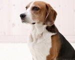 Thoughtful American Foxhound dog