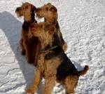 Three Airedale Terriers during the winter