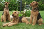 Three Airedale Terriers in the garden