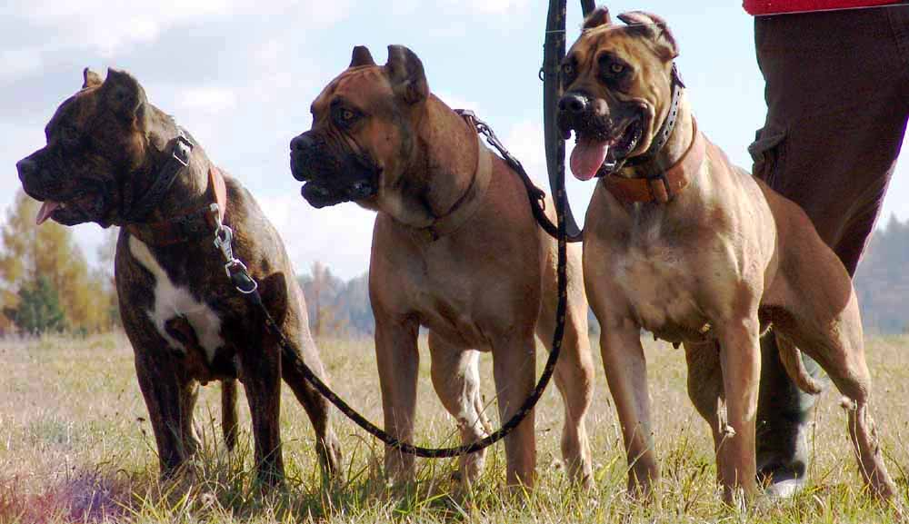 Three Alano Español dogs on a walk wallpaper