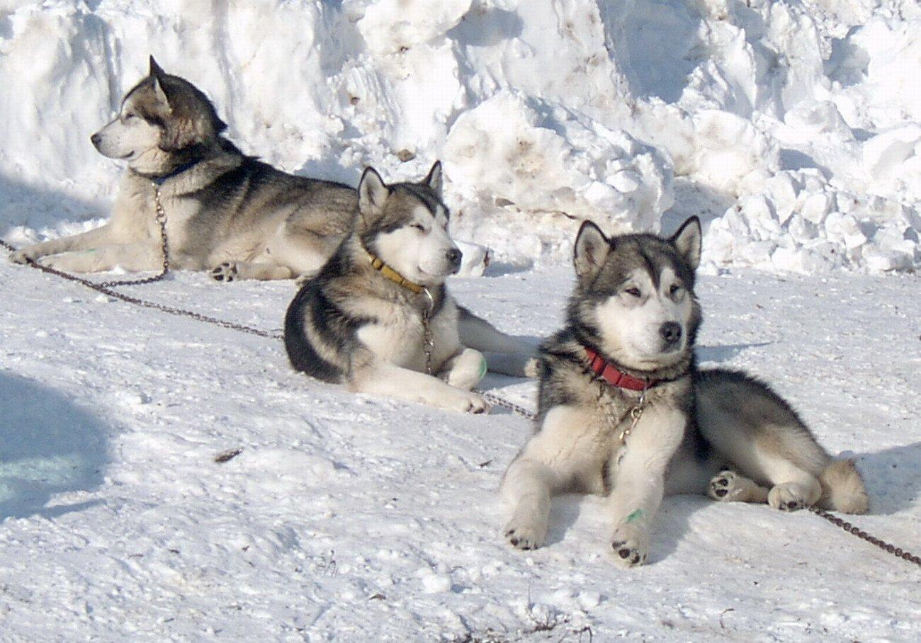 Three Alaskan Malamute in winter wallpaper