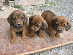 Three Alpine Dachsbracke puppies
