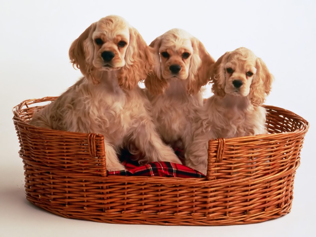 Three American Cocker Spaniel wallpaper