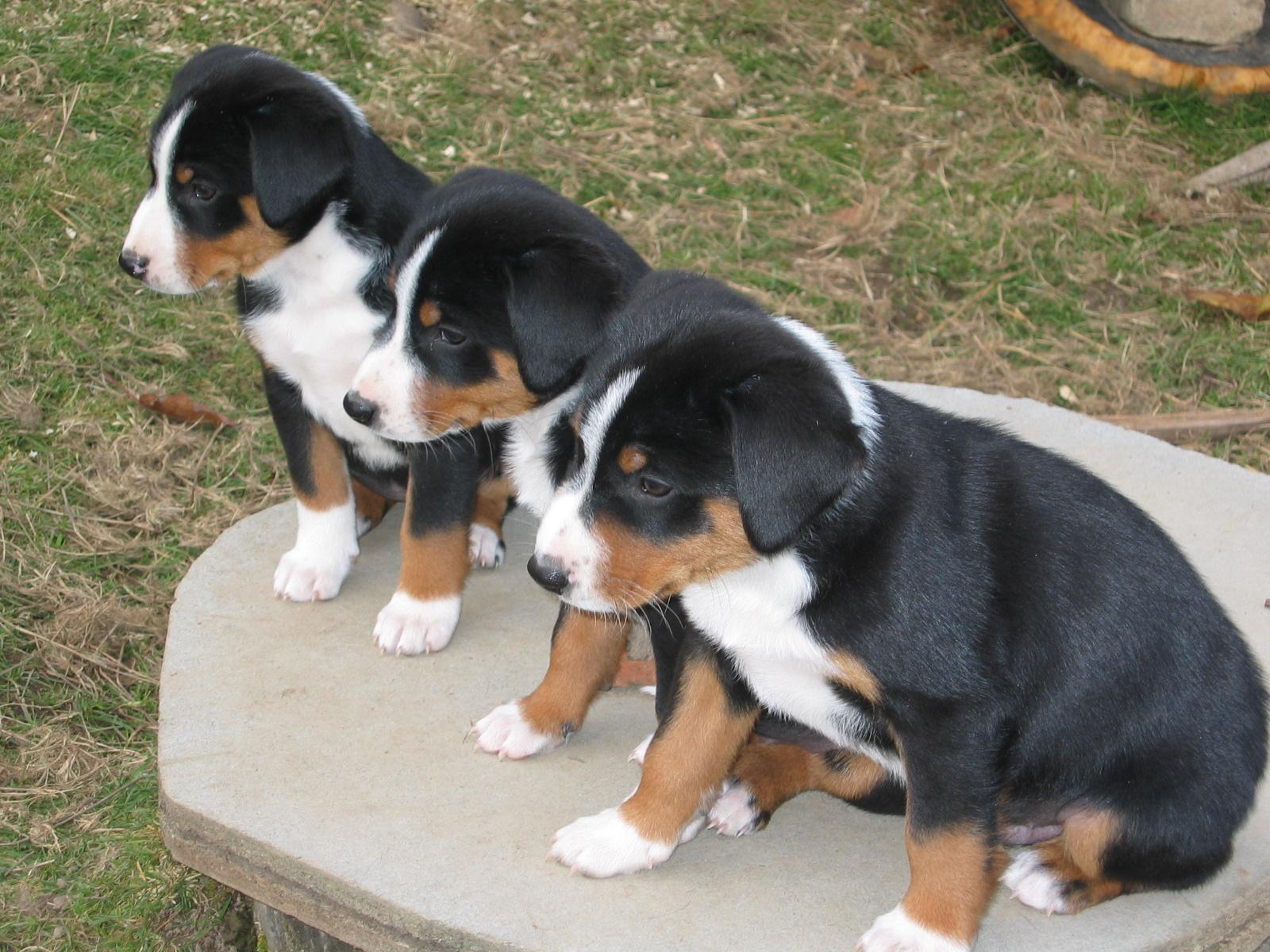 Три щенка аппенцеллер зенненхунда фото