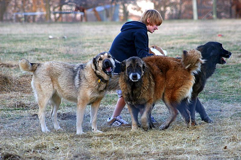 Three Armenian Gampr dogs wallpaper