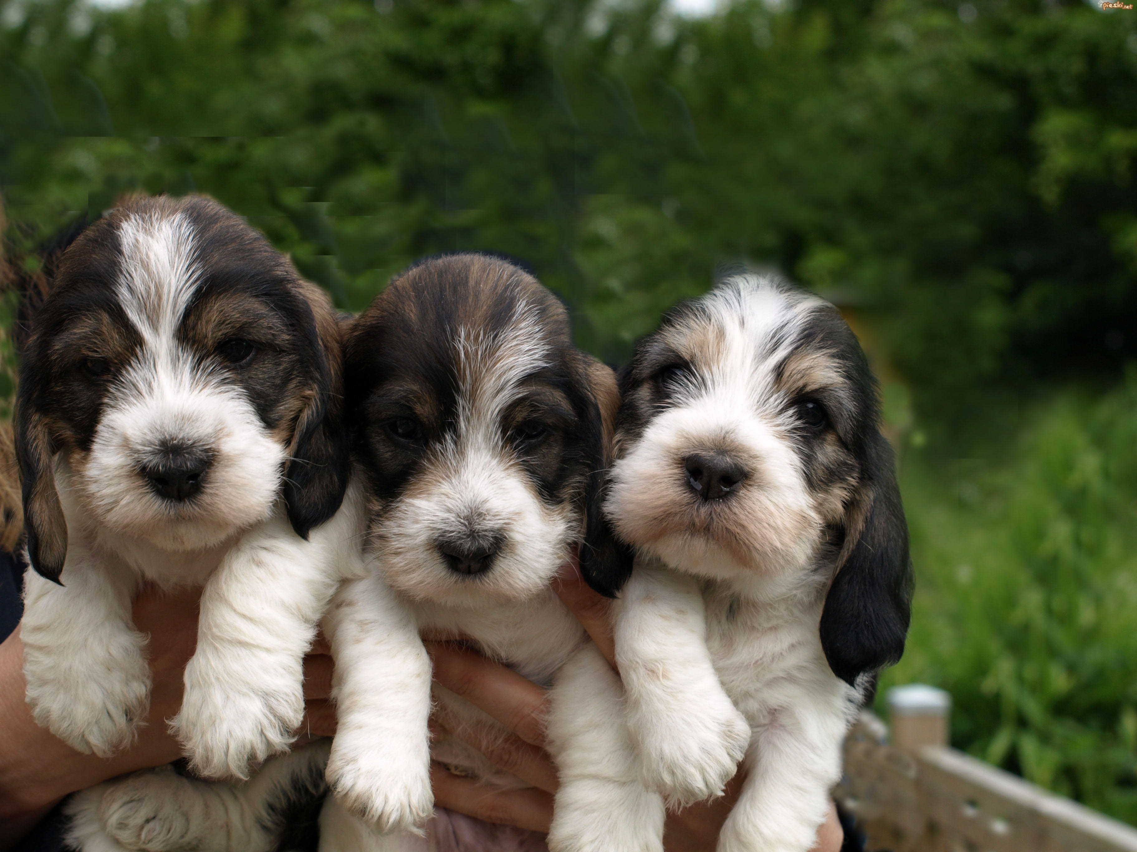 Three Basset Griffon Vendéen Grand puppies wallpaper