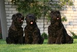 Three Black Russian Terrier dogs