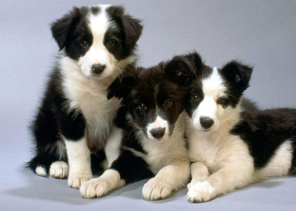 Three Border Collie dogs wallpaper