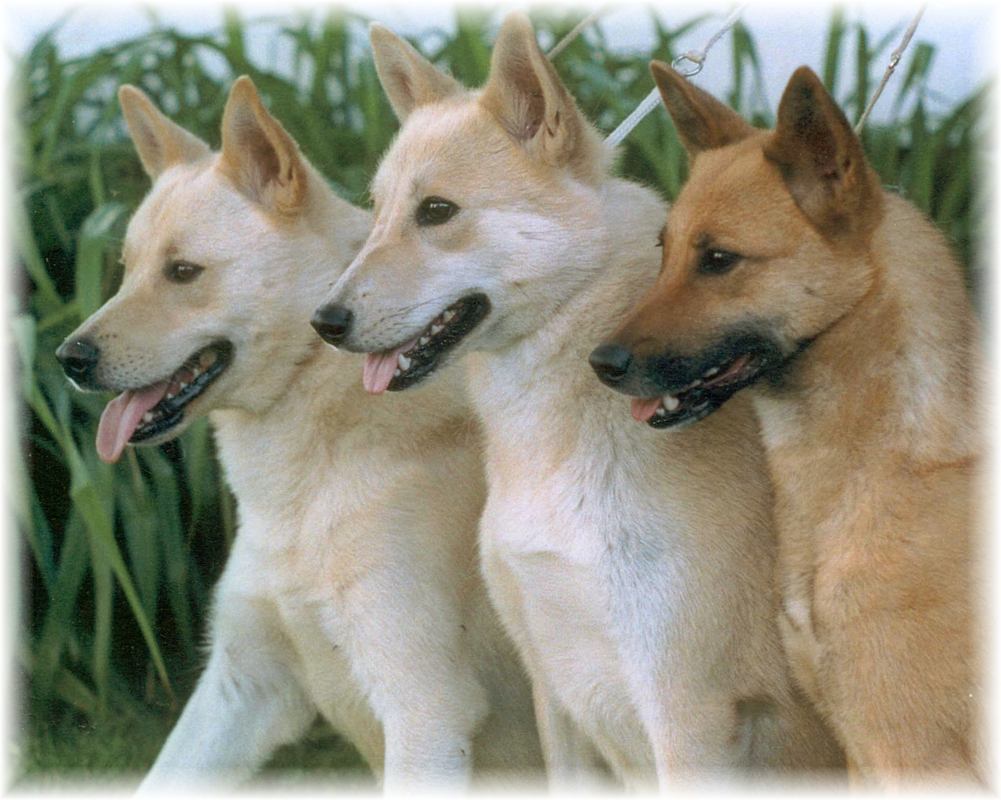 Three Canaan Dogs wallpaper