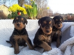 Three cute Airedale Terrier puppies