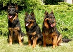 Three cute Bohemian Shepherd dogs