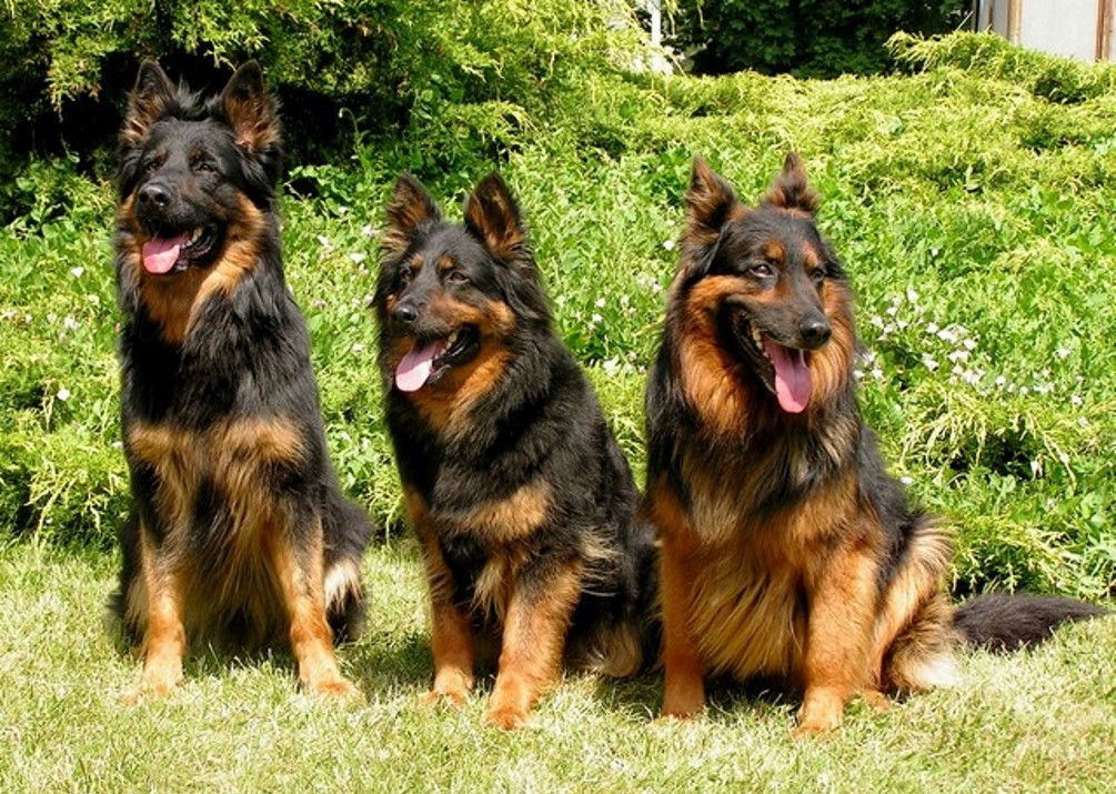 Три чешские пастушьи собаки фото