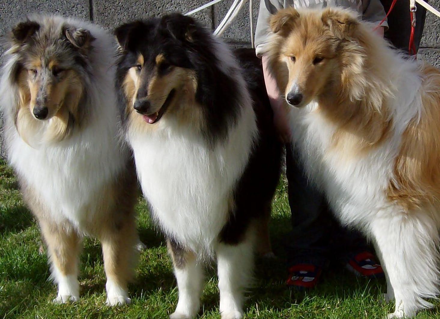Three cute Collie Rough dogs wallpaper