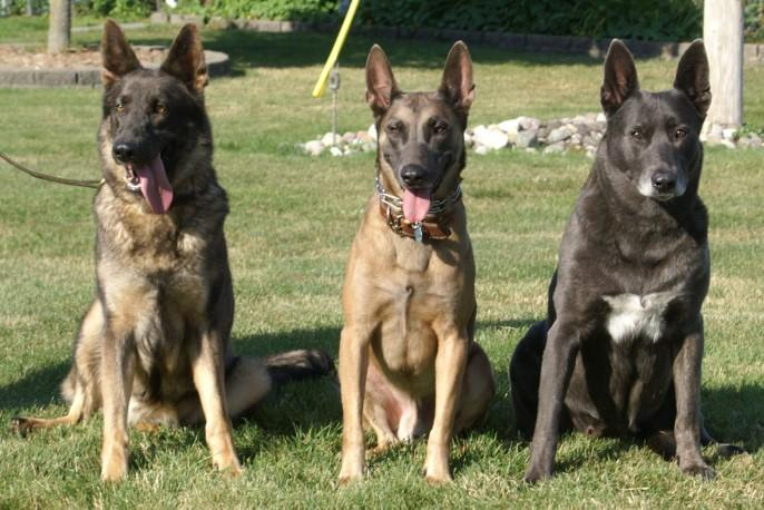 Three cute Dutch Shepherd Dogs wallpaper