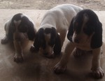 Three cute Gascon Saintongeois puppies