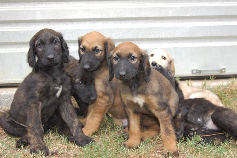 Three cute Hanover Hound puppies wallpaper