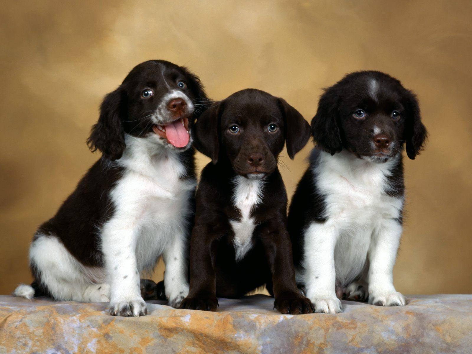 Three English Springer Spaniel puppies wallpaper