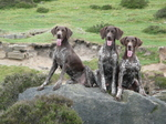 Three German Shorthaired Pointer dogs