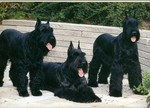 Three Giant Schnauzer dogs