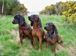 Three Hanover Hound dogs