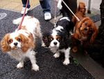 Three King Charles Spaniel dogs