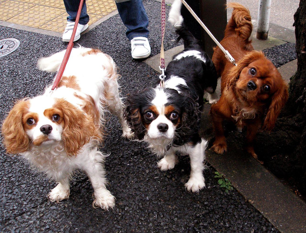 Three King Charles Spaniel dogs wallpaper