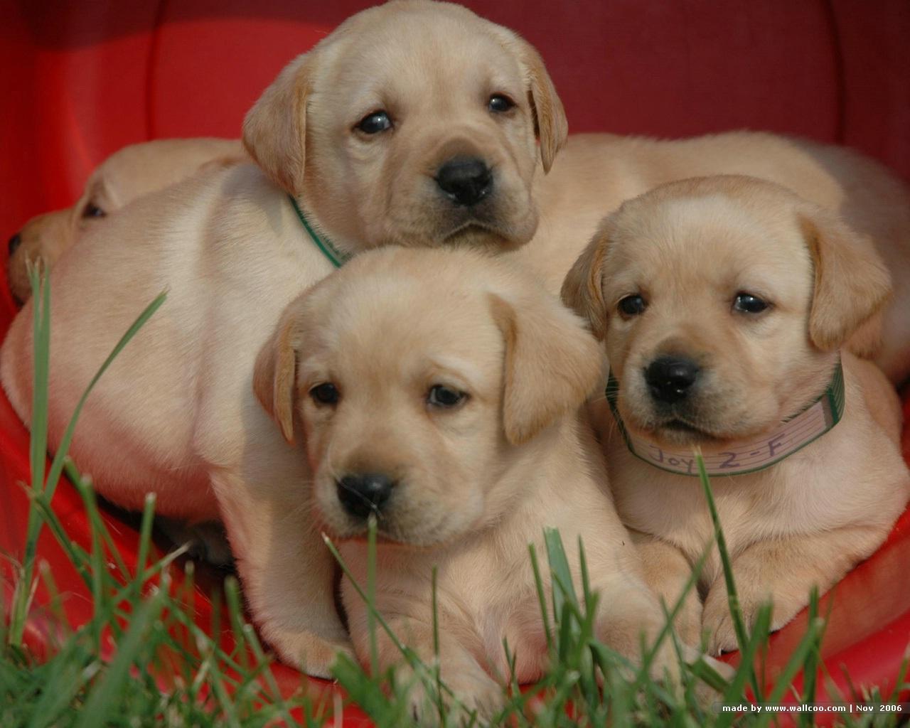 Three Labrador Retriever puppies wallpaper