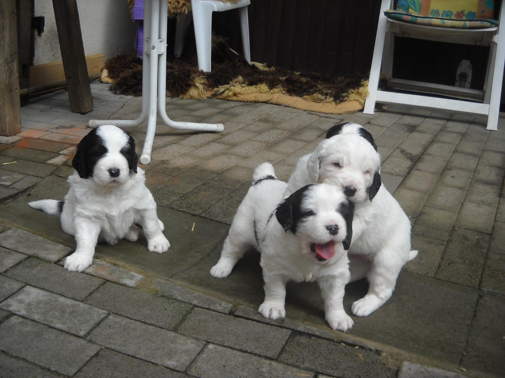 Three Landseer puppies wallpaper