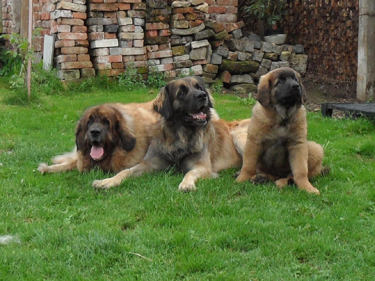 Three Leonberger dogs wallpaper
